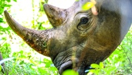 Bonhams Cancels Controversial Sale of Rhino Horn Items